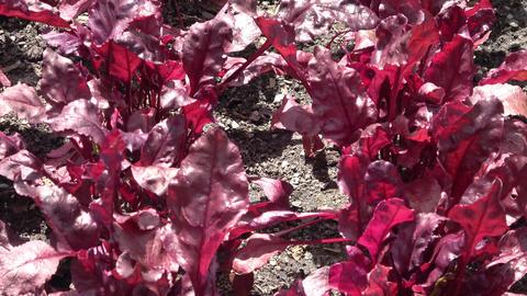 Beet plants growing in garden. Edible plants Live Action
