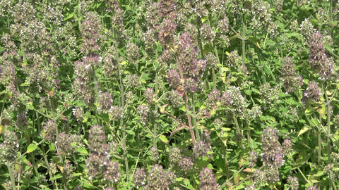 Catnip plants growing in soil. Edible plant Live Action