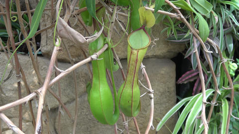 Pitcher plant swaying in wind. Camera still, Live Action