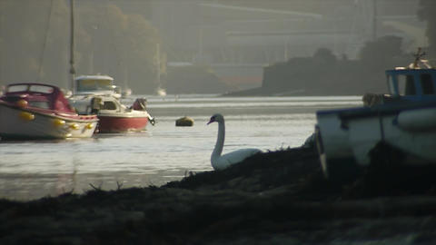 Swan on shore 2 Live Action