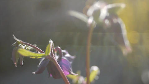 Flower in evening sun ビデオ