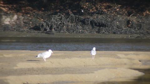 Birds on sandbanks Footage
