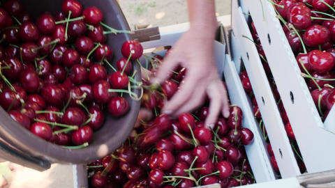 Ripe cherries are poured from the bucket in to a box Live Action