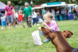 Miniature pinscher observing little girl during festival フォト