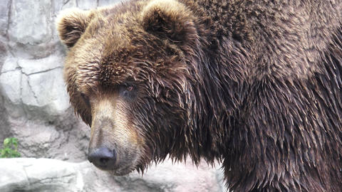 Kamchatka brown bear Footage