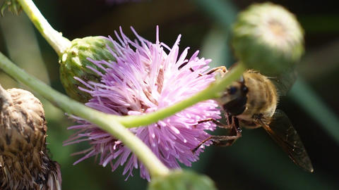 Bee on a pink flower Footage