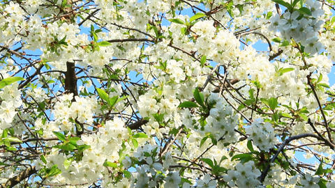 Blossoming cherry tree. White flowers. Spring garden Archivo