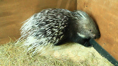 Porcupine covered by sharp spines. Rodent porcupine in zoo Footage
