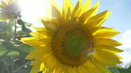 Sunflower with sun in the background ビデオ