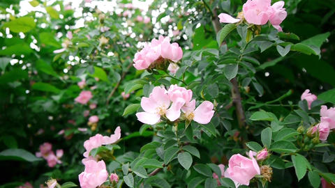 Pink rose bush located on the edge of a road traveled by car 90a Footage