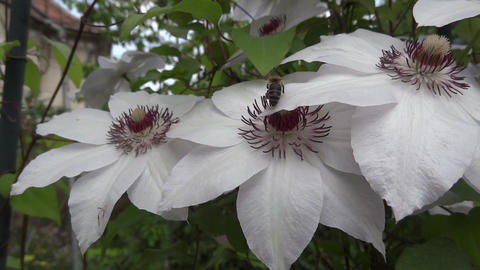 White clematis flowers that bees looking for pollen 02 Footage