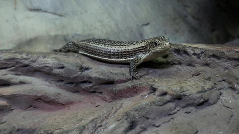 Gerrhosaurus - plated lizard in vivarium for reptiles Footage