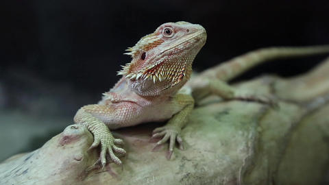 Agama, Australian dragon lizard Footage