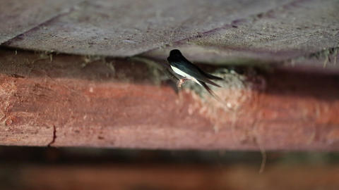 Swallow feeds its chicks in the nest Live Action