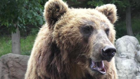 Portrait of brown bear (Ursus arctos beringianus). Kamchatka brown bear Live Action