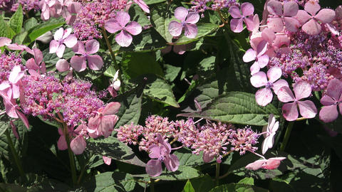 Inflorescence of a hydrangea with rare flowers in pink tones Live Action