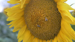 Bee polenizing sun flower close up slow motion Archivo