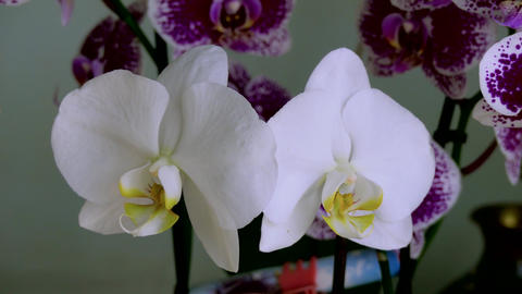 Indoor Orchids Live Action