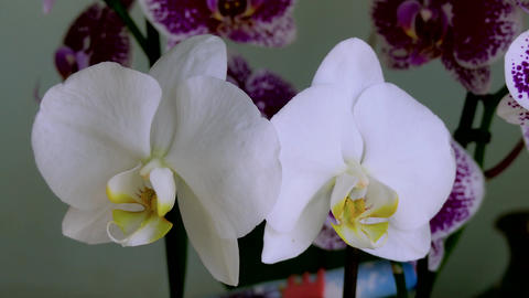 Indoor Orchids Stock Video Footage