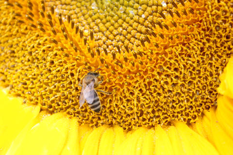 close up of bee on sunflower. Yellow flower and bee フォト