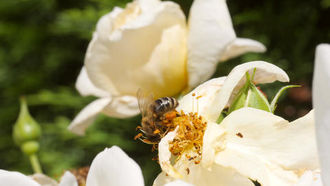 Beautiful Bumble-Bee Pollinating White Rose Flower in Summer Garden. 4K Live Action