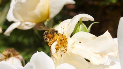 Wild Bee on White Rose Flower in Summer Garden. 4K Slowmotion Closeup ビデオ