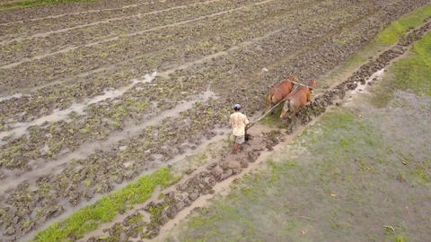 Aerial: Asian Farmer Plowing Rice Paddy Field Using Buffaloes Bulls. Traditional Footage