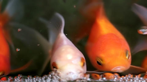 Soft focused beautiful and cute goldfishes swim Archivo
