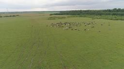 Cows graze on pasture ビデオ