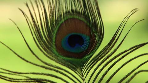 Closeup peacock feather Footage