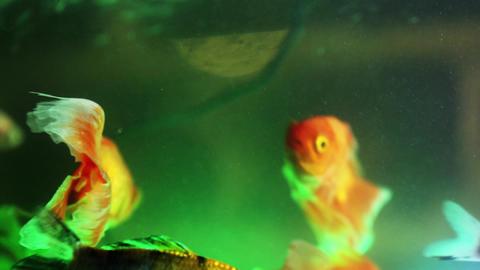 Gold fish swimming in fish tank, Fish in the aquarium (5) Footage