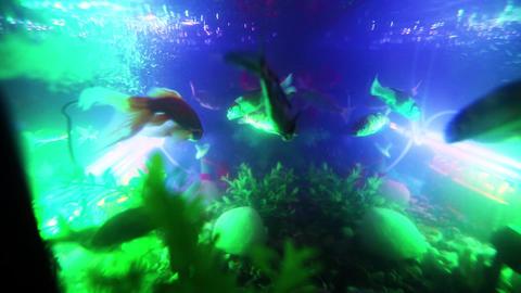 Gold fish swimming in fish tank, Fish in the aquarium (6) Footage