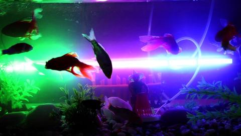 Gold fish swimming in fish tank, Fish in the aquarium (7) Footage