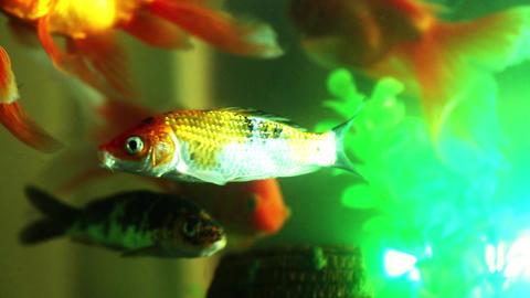 Gold fish swimming in fish tank, Fish in the aquarium Footage