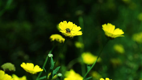 bee on top of a yellow daisy flower, Wild daisy flowers, beautiful spring time Footage