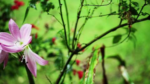 Rain drips on pink flowers garden romantic beautiful garden Footage