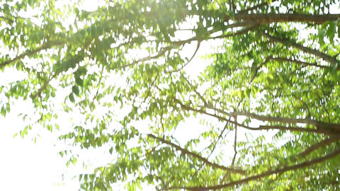 Beautiful Sun shine through the blowing on wind tree green leaves, Sun Rays, Footage