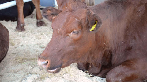 The cow lies in the stall, the head of the muzzle is close up Live Action