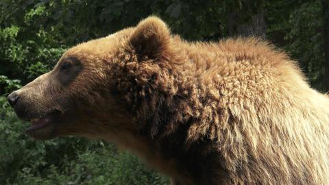 Portrait of brown bear (Ursus arctos beringianus). Kamchatka brown bear Footage