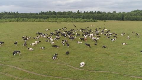 Cows graze on pasture フォト