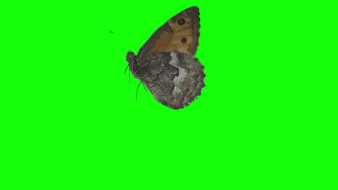 Butterfly on green screen Archivo