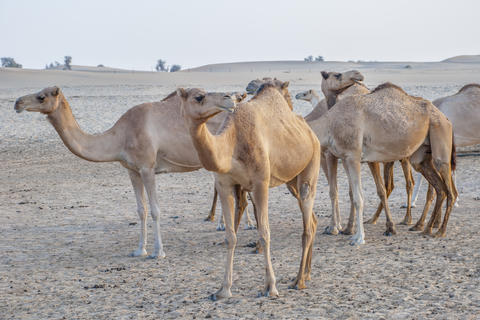 Camel attraction for tourists in desert in UAE フォト