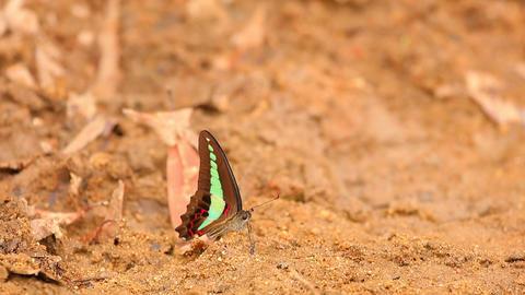 Common Bluebottle Butterfly HD Stock Footage ビデオ