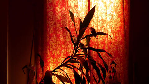 House Plant Behind a Floral Curtain GIF