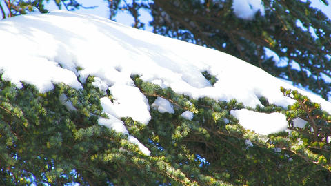 Snow on the branches of spruce Stock Video Footage