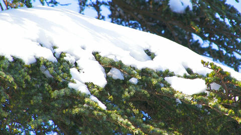 Snow on the branches of spruce Live Action