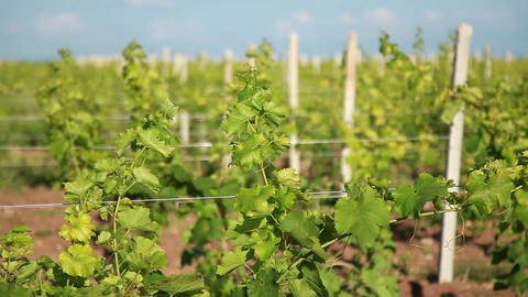 Trellis of Young Vineyard Footage