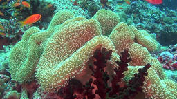 Amazing life of marine life on clear seabed underwater of Maldives Footage