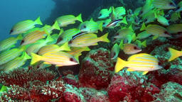 Soup of unique exotic bright yellow striped fish underwater in Maldives Footage