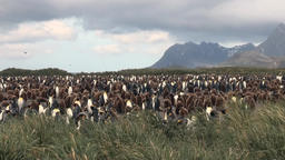 Adults and young king penguins on the Falkland Islands Footage